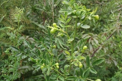 Immature-fruits-of-Yellow-jasmine