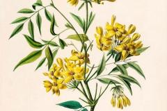 Plant-Illustration-of-Yellow-jasmine