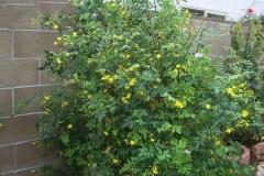 Yellow-jasmine-plant