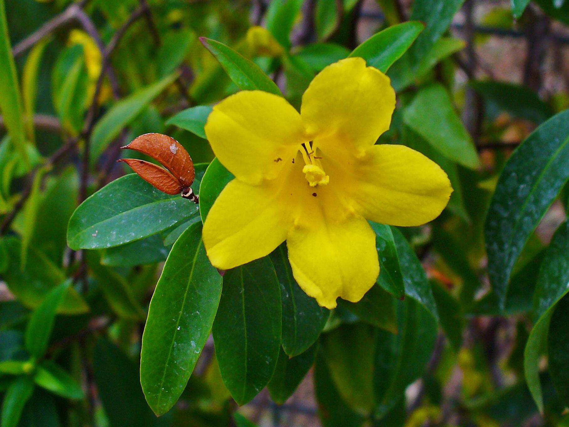 Yellow-Jessamine-flower