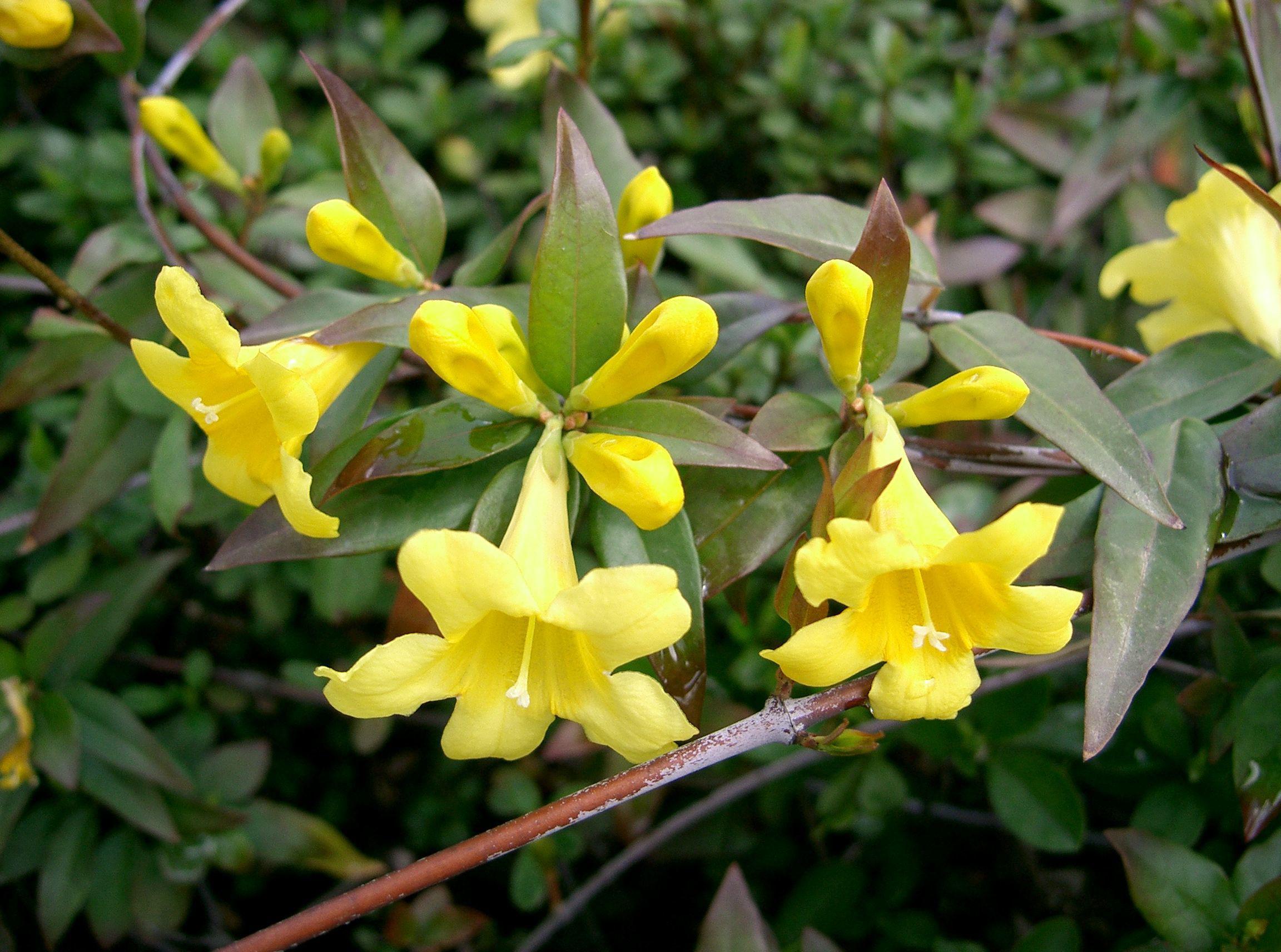 Yellow-Jessamine-flowers