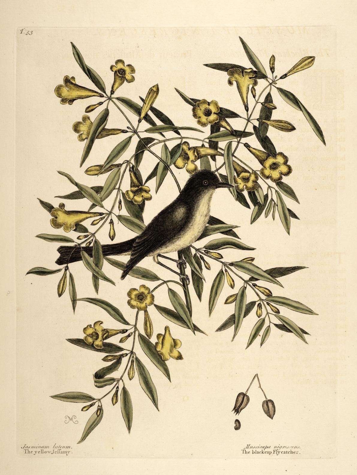 Yellow-Jessamine-plant-illustration