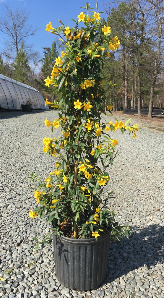 Yellow-Jessamine-plant