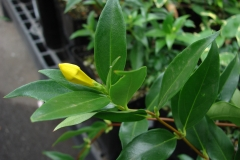 Flower-bud-of-Yellow-Jessamine