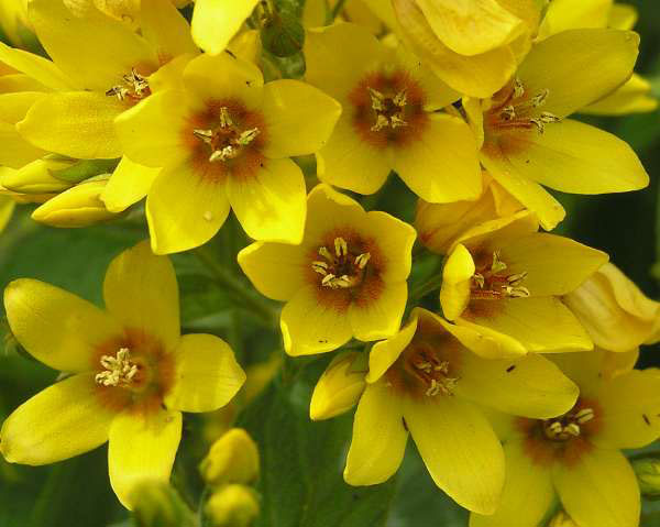 Closer-view-of-Flower-of-Yellow-Loosestrife
