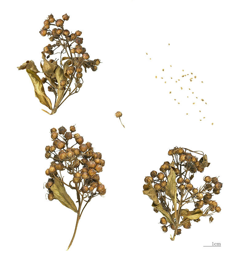 Dried-capsules-and-seeds-of-Yellow-Loosestrife