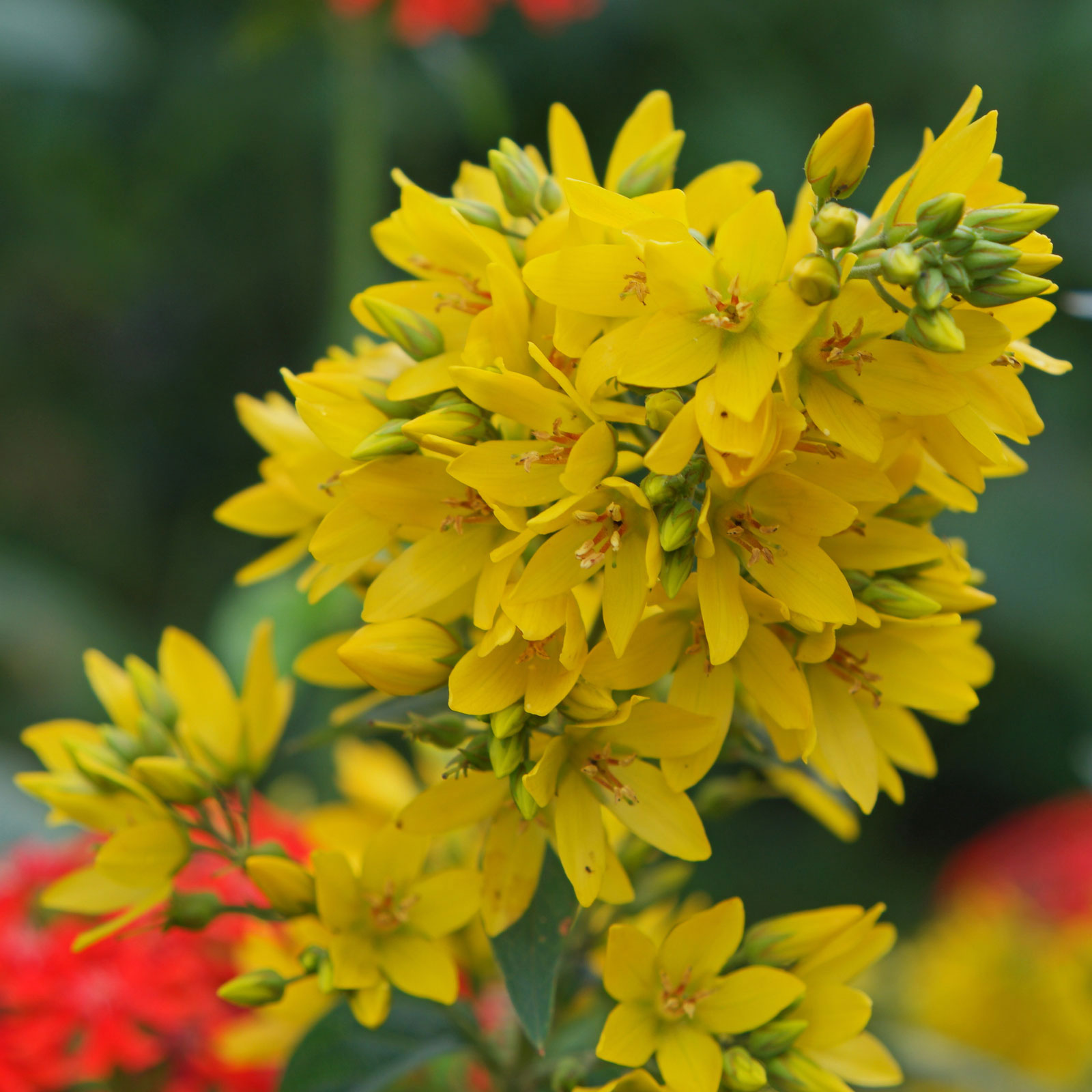 Flowers-of-Yellow-Loosestrife