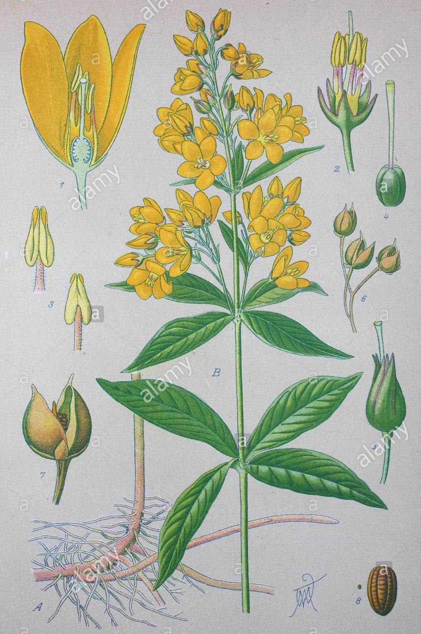 Plant-Illustration-of-Yellow-Loosestrife