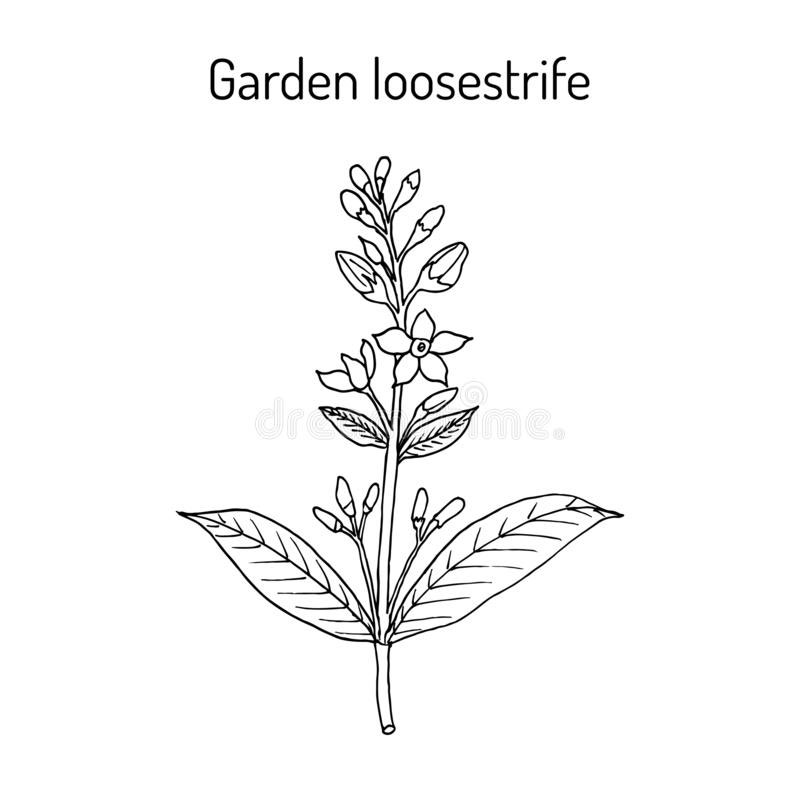 Sketch-of-Yellow-Loosestrife