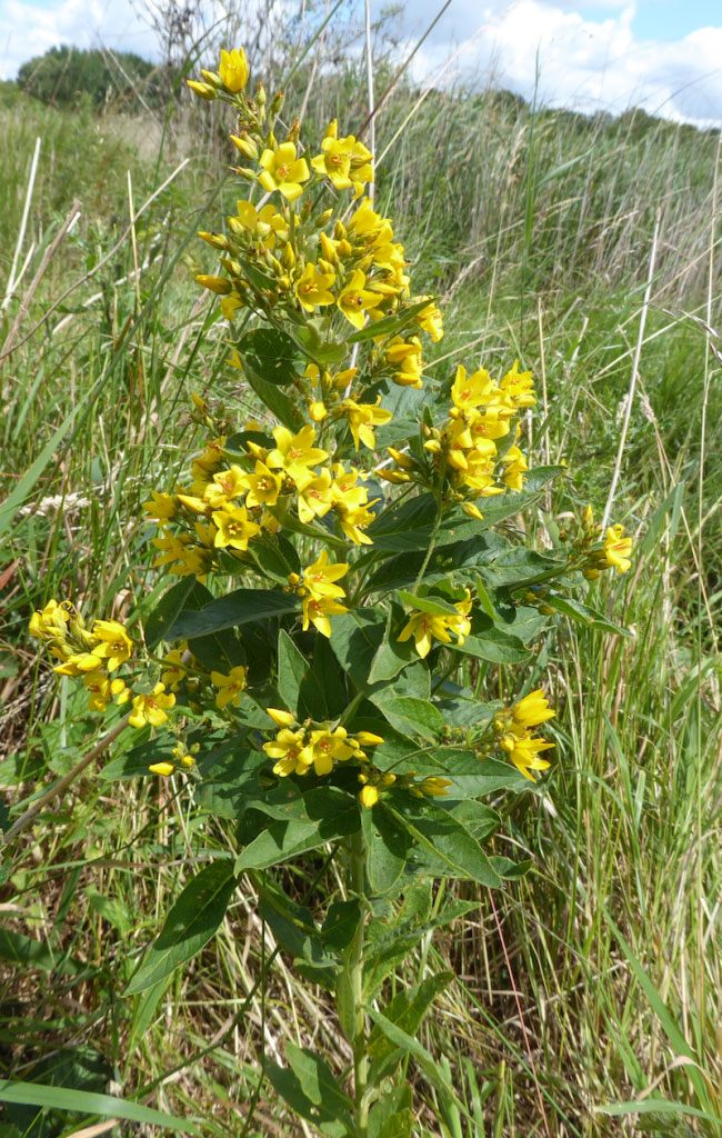 Yellow-Loosestrife-Plant-growing-wild