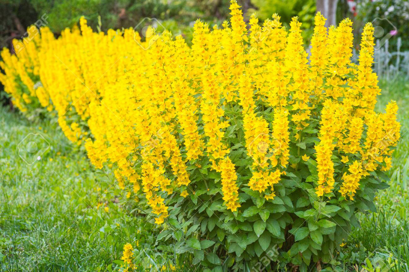 Yellow-Loosestrife-plant