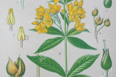 Plant-Illustration-of-Yellow-Loosestrife