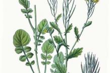 Plant-Illustration-of-Yellow-Rocketcress