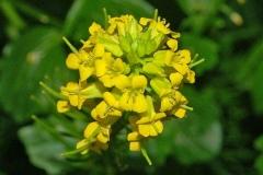 Flower-of-Yellow-Rocketcress