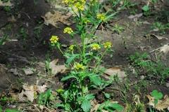 Yellow-Rocketcress-Plant