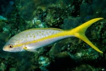 Yellowtail-fish-2