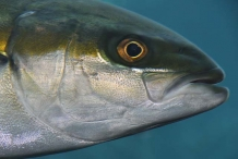 Yellowtail-fish-head