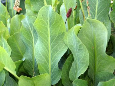 Leaves-of-Yerba-Mansa