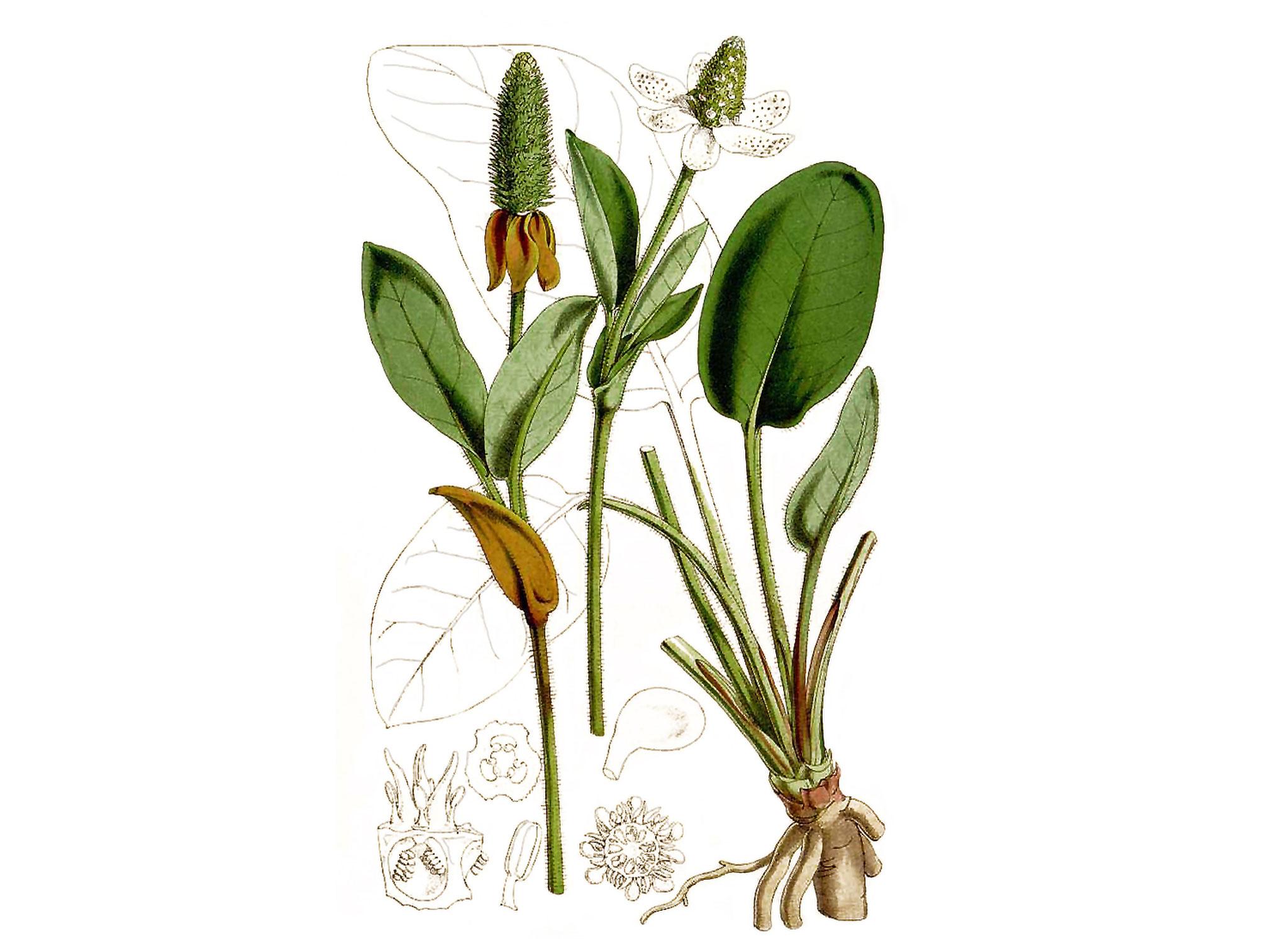 Plant-Illustration-of-Yerba-Mansa