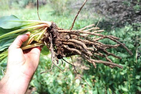 Roots-of-Yerba-Mansa