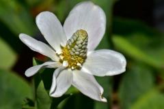 Closer-view-of-flowers-of-Yerba-Mansa