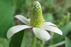 Flower-of-Yerba-Mansa