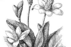 Sketch-of-Yerba-Mansa