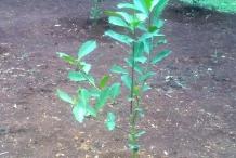 Yerba-Mate-plant