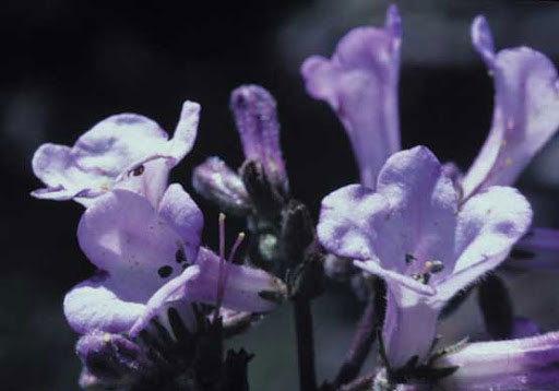 Closer-view-of-flower-of-Yerba-Santa