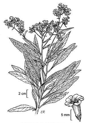 Plant-Illustration-of-Yerba-Santa