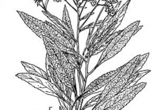 Plant-Illustration-of-Yerba-Santa
