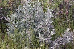Yerba-Santa-plant-growing-wild
