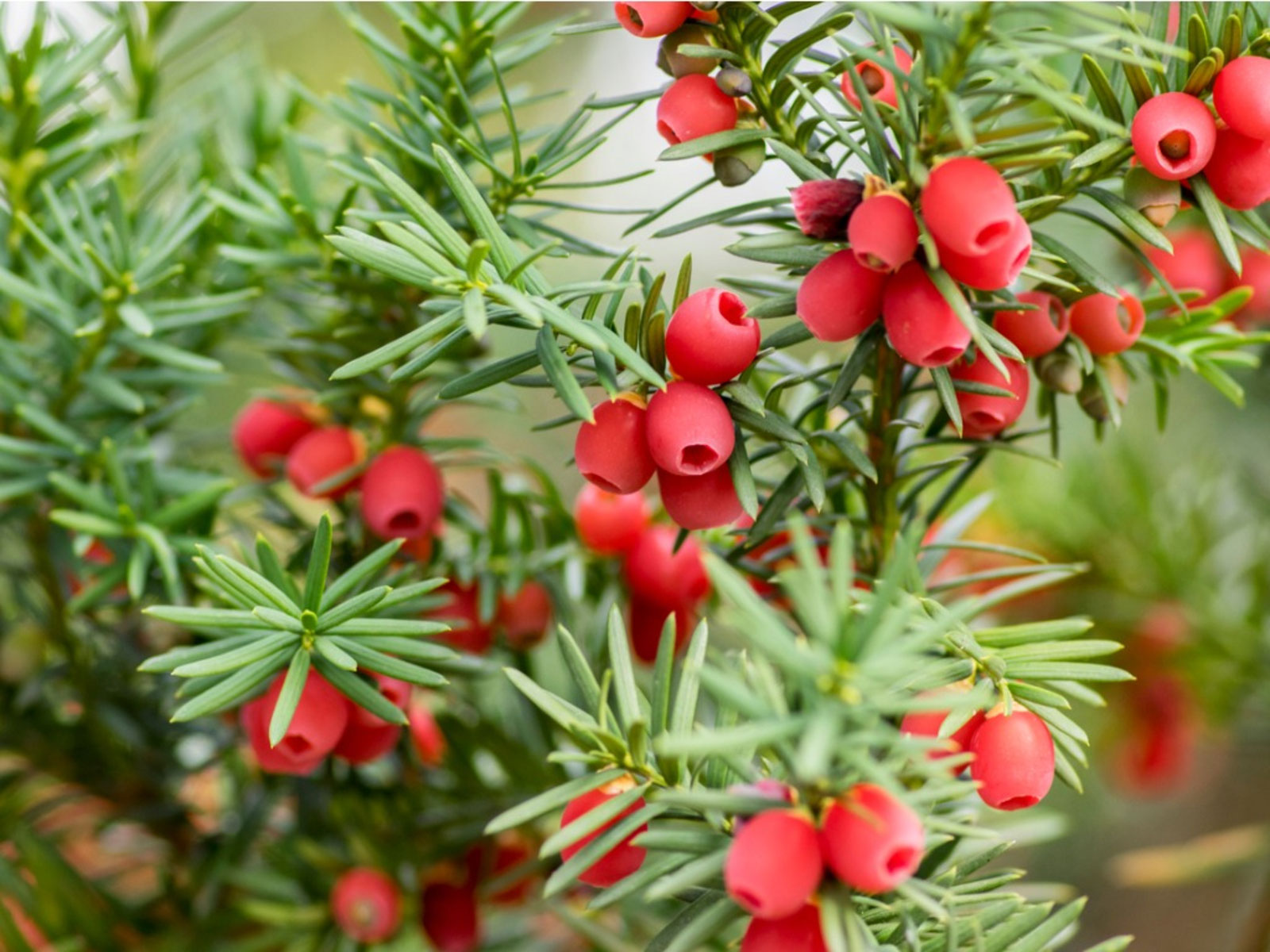 Mature-fruits-of-Yew