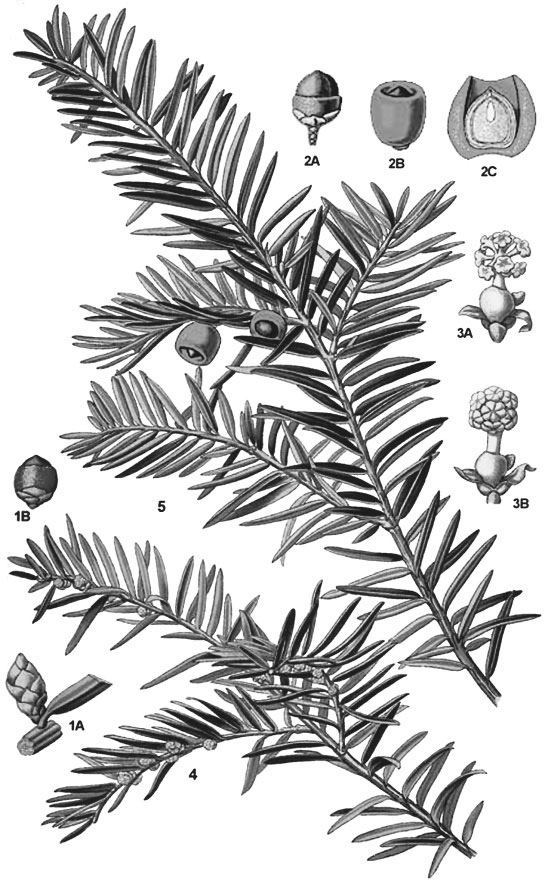 Sketch-of-Yew