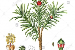 Plant-illustration-of-Yew