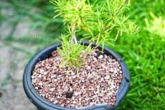 Small-yew-plant