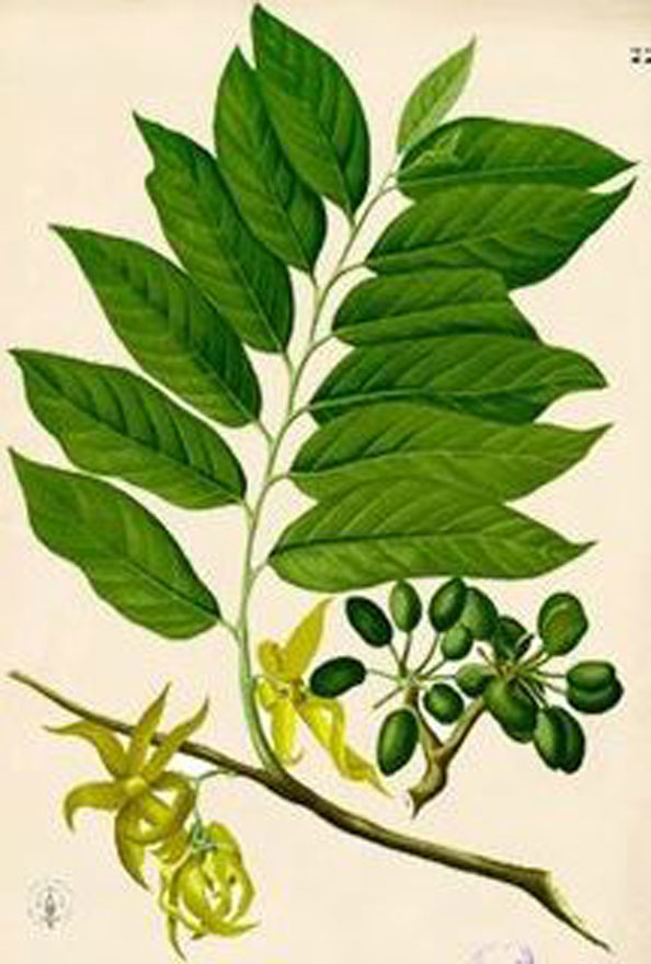 Plant-Illustration-of-Ylang-Ylang