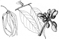 Sketch-of-Ylang-Ylang