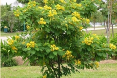 Ylang-Ylang-tree