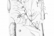 Yucca-plant-Sketch