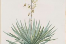 Illustration-of-Yucca-plant