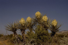 Yucca-plant-growing-wild