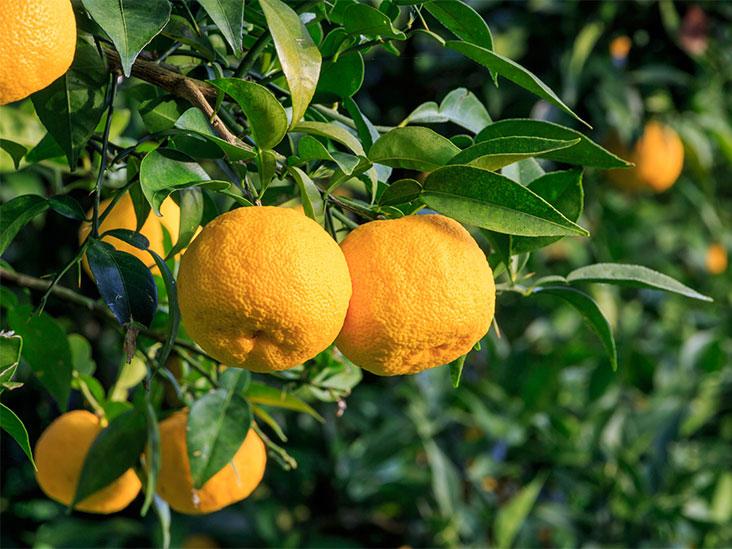 Mature-Yuzu-Fruit-on-the-tree