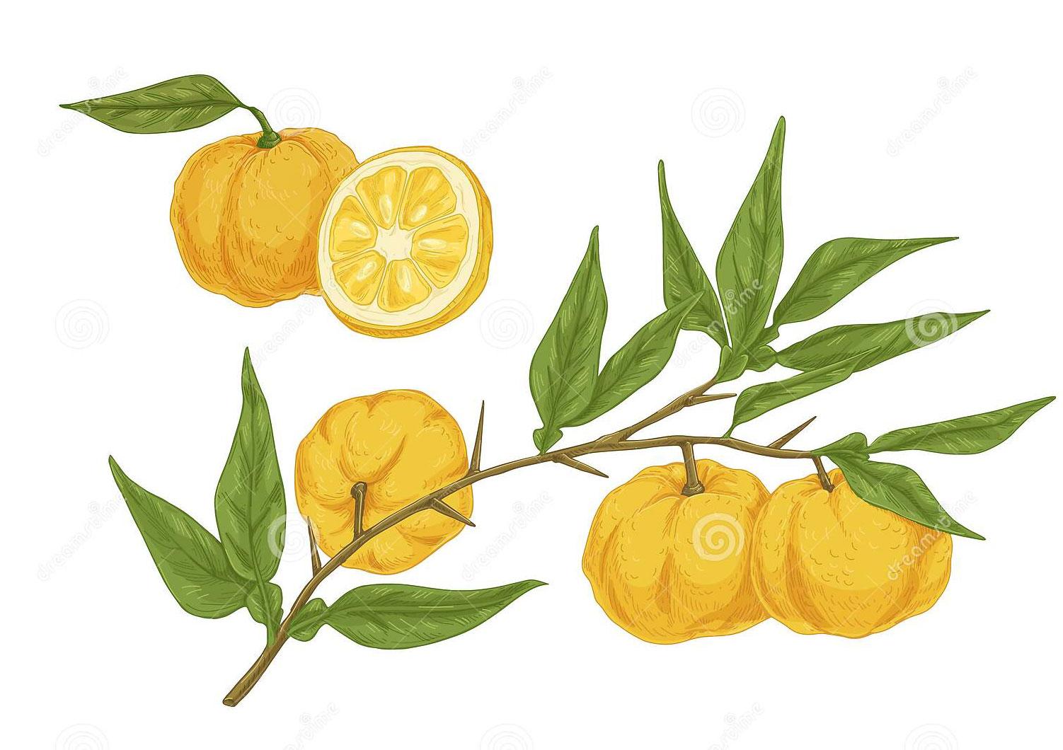 Plant-illustration-of-Yuzu-Fruit