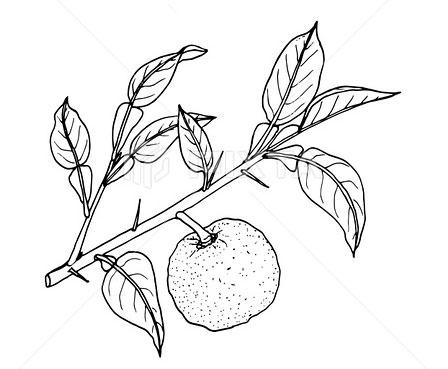 Sketch-of-Yuzu-Fruit
