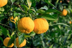 Mature-Yuzu-Fruit-on-the-tree