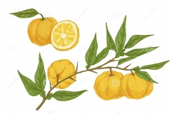 Plant-illustration-of-Yuzu-Fruit