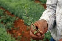 Za'atar-plant-za'tar