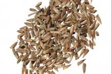 Za'atar-seeds-zaktar