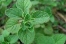 Za'atar-leaves- zaatar